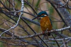 Kingfisher in tree Stock Photo