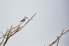 A kingfisher in a tree Royalty Free Stock Images