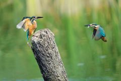 Kingfisher. Two Common Kingfisher fly to stub. Scientific name: Alcedo atthis Stock Images