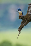 Kingfisher waiting Stock Photography