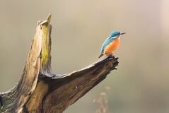 Free Kingfisher Waiting For A Fish Royalty Free Stock Image - 186600426