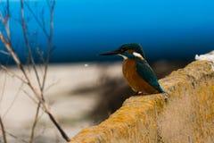 Kingfisher on wall Stock Photos