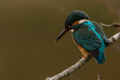 Kingfisher on wall Royalty Free Stock Image