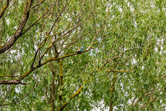 Kingfisher in the wild Royalty Free Stock Photo
