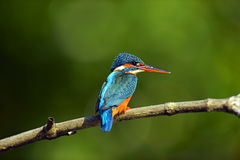 Kingfisher. In the wild on the island of Sri Lanka Royalty Free Stock Photos