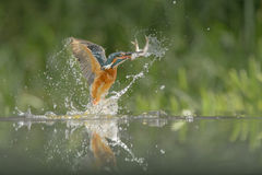 Kingfisher With Catch. Royalty Free Stock Photos