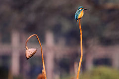 Kingfisher and withered lotus Royalty Free Stock Image