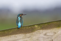 Kingfisher on a wooden fence Royalty Free Stock Image