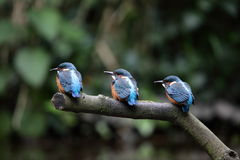 Kingfisherfågelungar. Arkivfoton