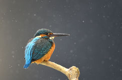 Kingfishers Royalty Free Stock Photography