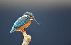 Kingfishers Стоковая Фотография