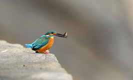 Kingfishers Royalty Free Stock Image