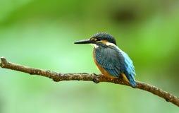 kingfishers Royaltyfri Bild