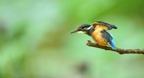 kingfishers Arkivfoto