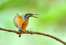 kingfishers Arkivfoton