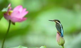 kingfishers Royaltyfri Foto