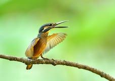 kingfishers Arkivbilder