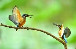 kingfishers Fotografering för Bildbyråer