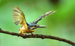kingfishers Arkivbild