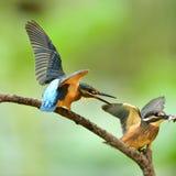 kingfishers Royaltyfria Foton