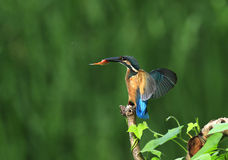 kingfishers Stockfoto