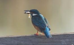 kingfishers Imagenes de archivo