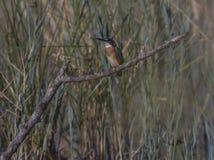 kingfishers Lizenzfreies Stockfoto