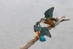 Kingfishers Arguing 2 Stock Photo