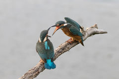 Kingfishers Arguing Stock Photos