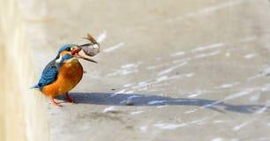 Kingfishers Stock Photo