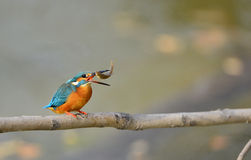 Kingfishers Royalty Free Stock Photography