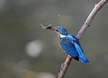 kingfishers Stock Images