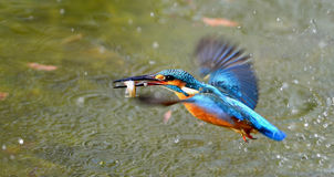 Kingfishers Royalty Free Stock Images