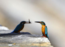 Kingfishers Stock Photos