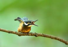 Kingfishers Stock Images
