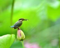 Kingfishers Stock Image