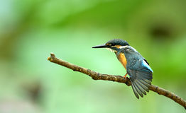 Kingfishers Stock Image