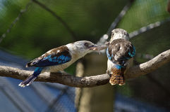 Kingfishers feeding on mouse Royalty Free Stock Photo