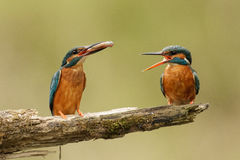 Kingfishers with fish. Kingfisher male caught a fresh fish for his wife Royalty Free Stock Images