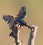 Kingfishers Royalty Free Stock Image
