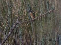 Kingfishers royalty free stock photo