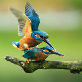 Kingfishers mating Stock Image