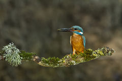 Kingfishers with Ninespine stickleback. Royalty Free Stock Photos