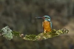 Kingfishers with Ninespine stickleback. royalty free stock photos
