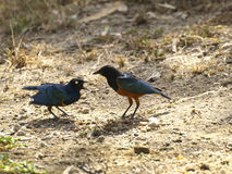 Kingfishers shouting in the Tsavo East Park. Two Kingfisher (Alcedinidae) twitting and shouting in the Tsavo East Park, Kenya royalty free stock photography