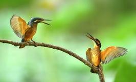 Kingfishers Stock Photography