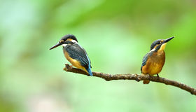 Kingfishers. Two bird in the branches to find time to catch fish Stock Images