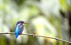 Kingfishers Stock Photo