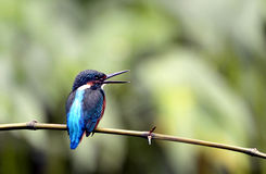 Kingfishers Royalty Free Stock Photos