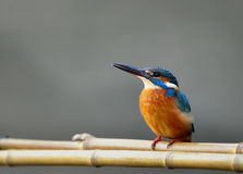 Kingfishers Stock Photography